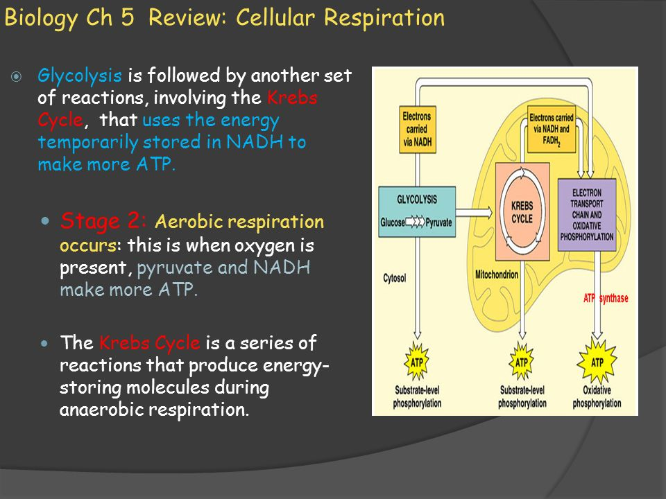 Biology Ch 5 Review: Cellular Respiration