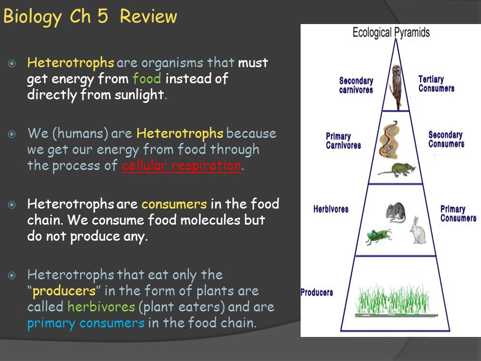 Biology Ch 5 Review Heterotrophs are organisms that must get energy from food instead of directly from sunlight.