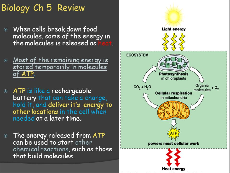 Biology Ch 5 Review When cells break down food molecules, some of the energy in the molecules is released as heat.