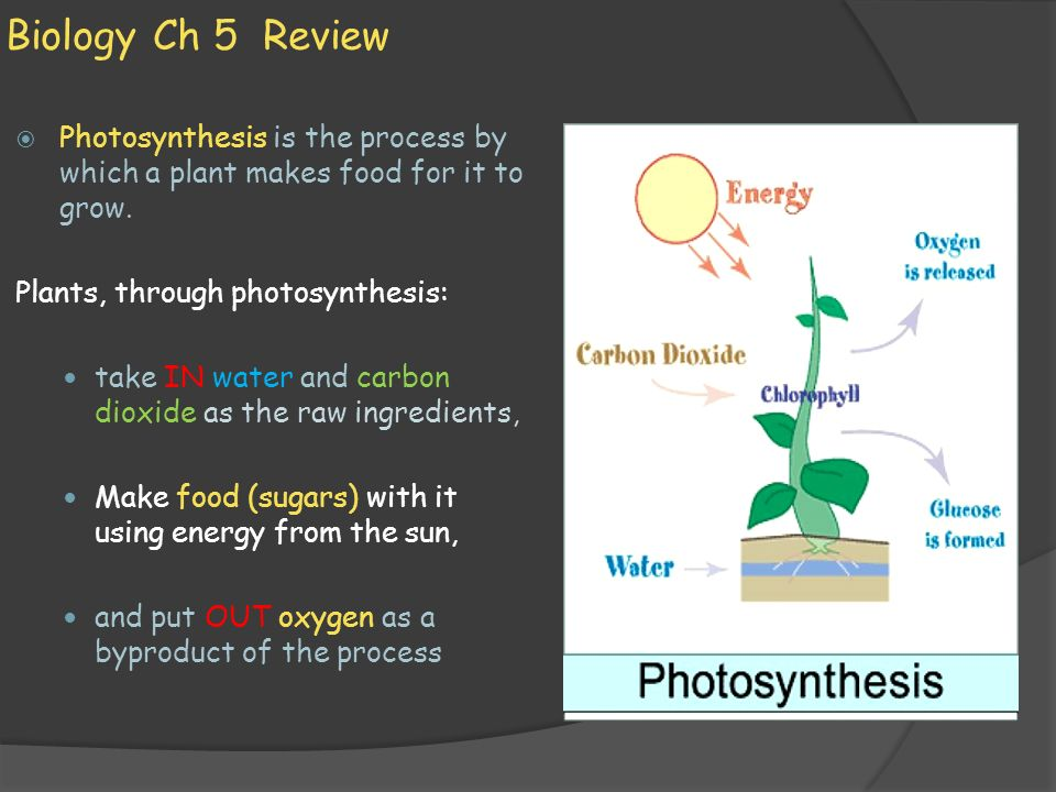 Biology Ch 5 Review Photosynthesis is the process by which a plant makes food for it to grow. Plants, through photosynthesis: