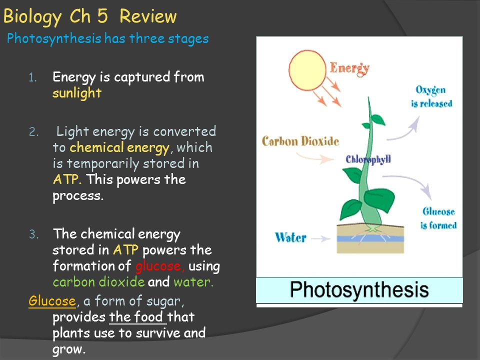 Biology Ch 5 Review Photosynthesis has three stages