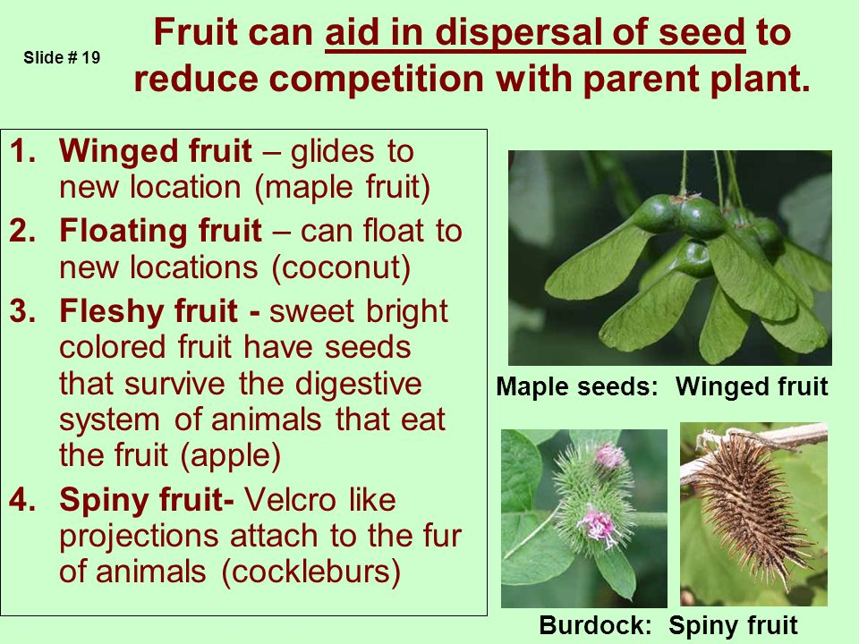 Fruit can aid in dispersal of seed to reduce competition with parent plant.