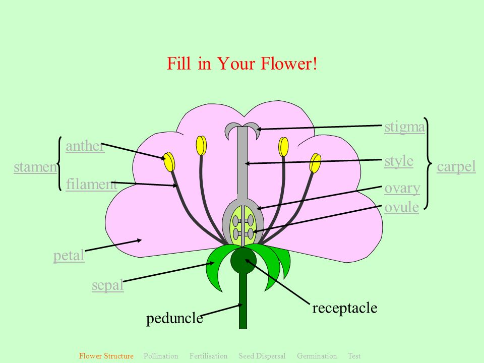 Fill in Your Flower! stigma anther style stamen carpel filament ovary