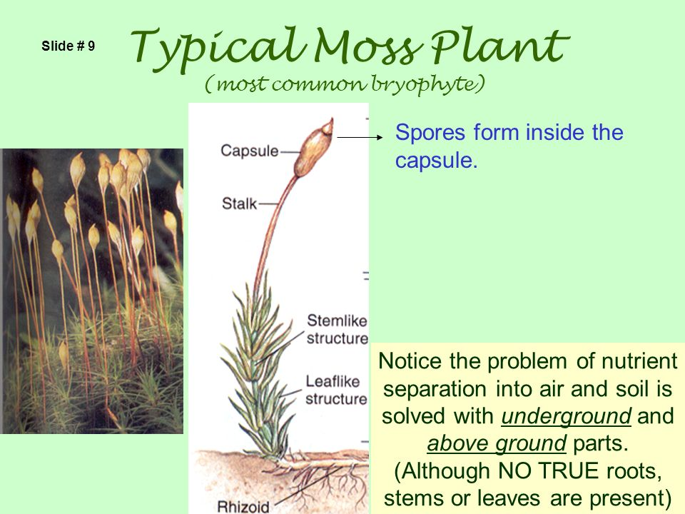 Typical Moss Plant (most common bryophyte)