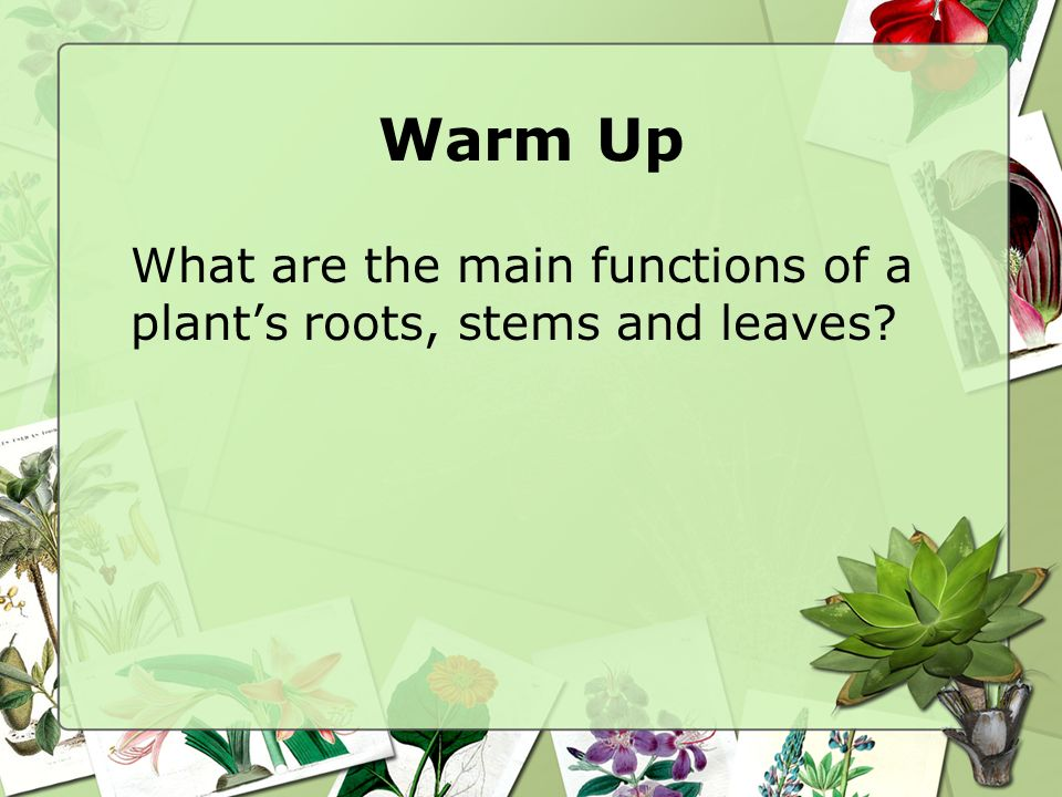 Warm Up What are the main functions of a plant's roots, stems and leaves