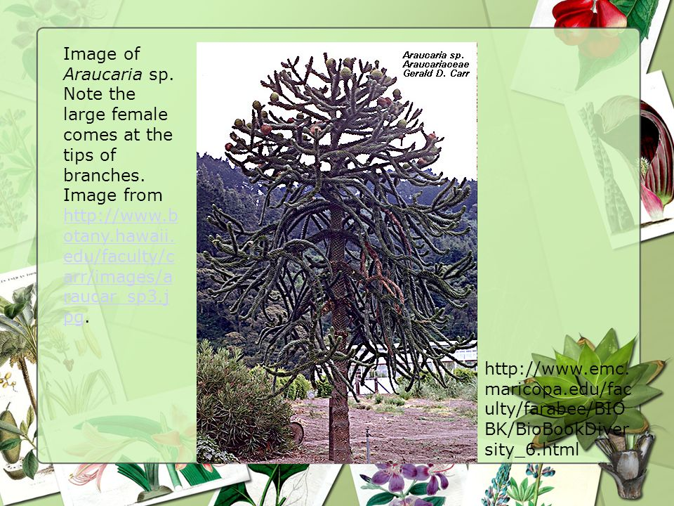 Image of Araucaria sp. Note the large female comes at the tips of branches. Image from