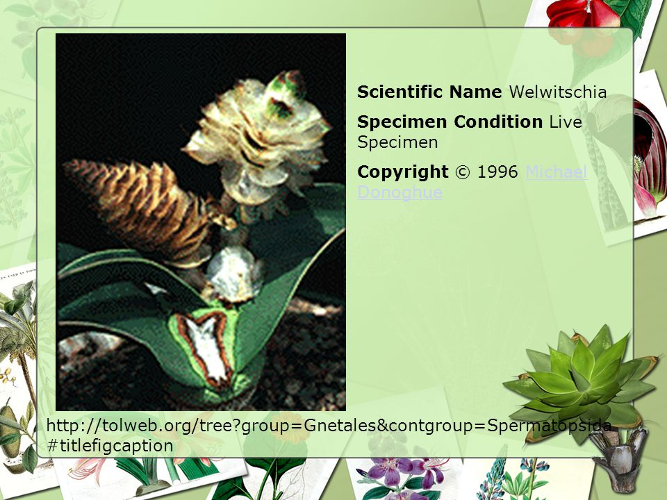 Scientific Name Welwitschia
