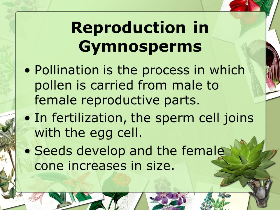 Reproduction in Gymnosperms