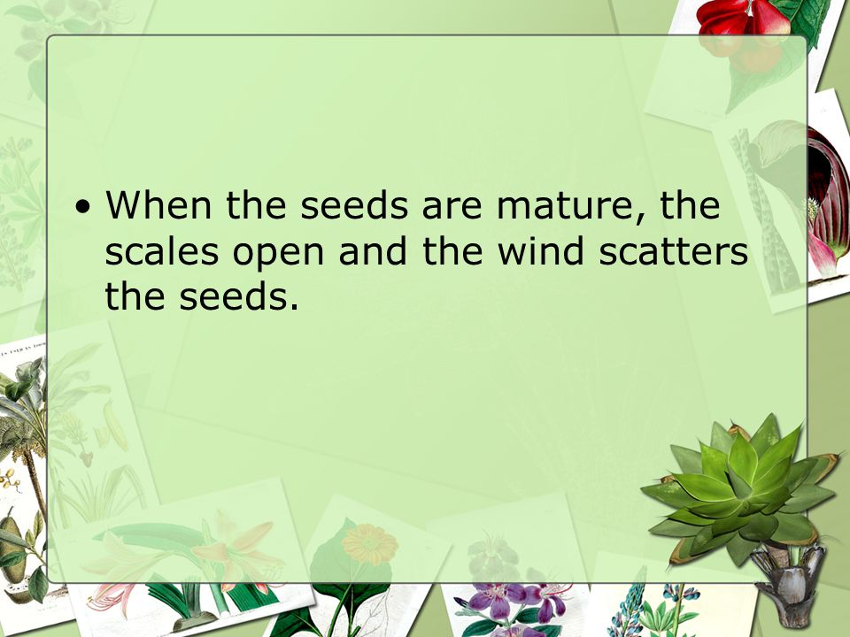 When the seeds are mature, the scales open and the wind scatters the seeds.
