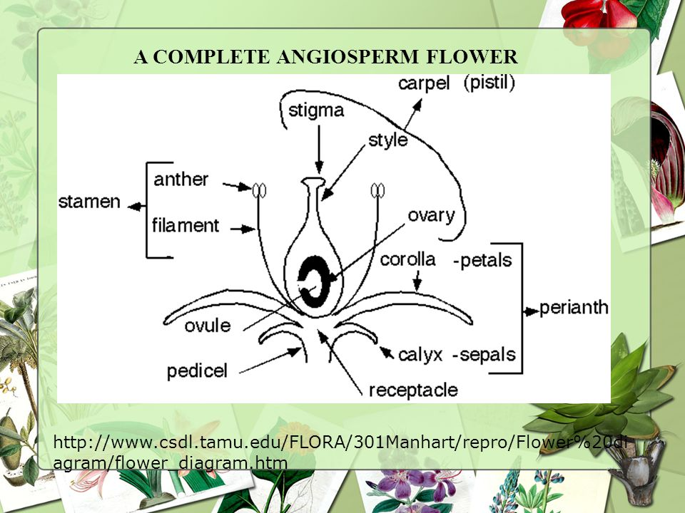 A COMPLETE ANGIOSPERM FLOWER
