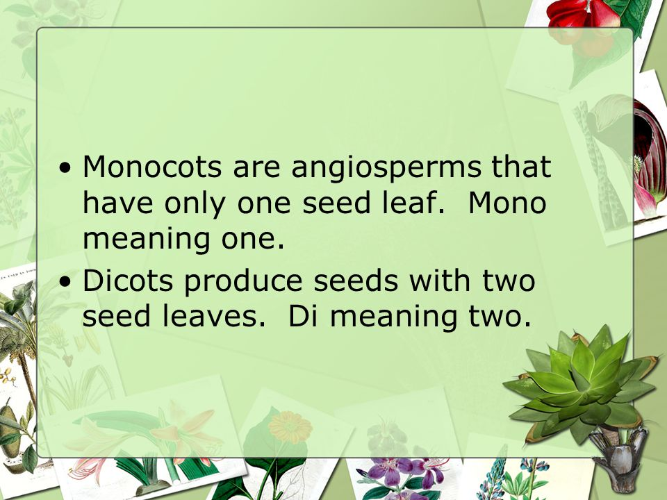 Monocots are angiosperms that have only one seed leaf. Mono meaning one.