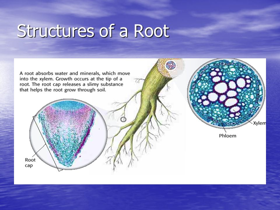Structures of a Root