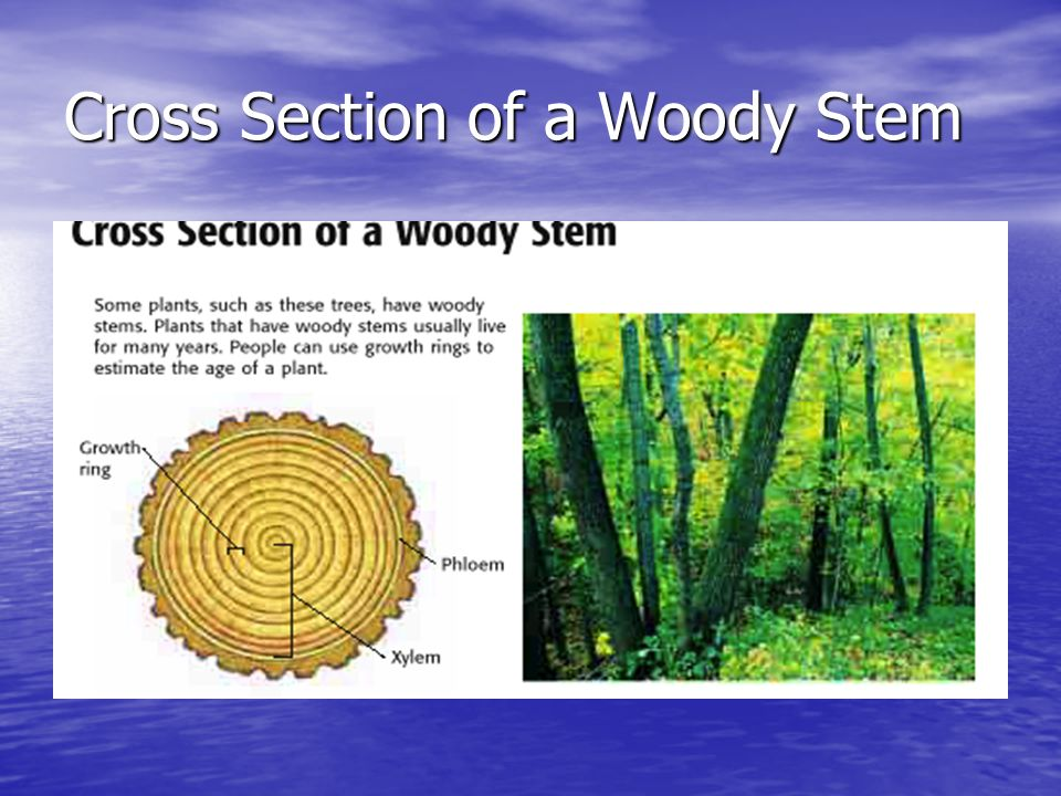 Cross Section of a Woody Stem