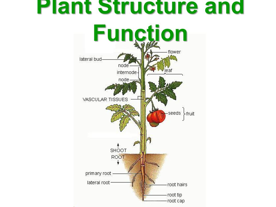 Plant Structure and Function - ppt video online download