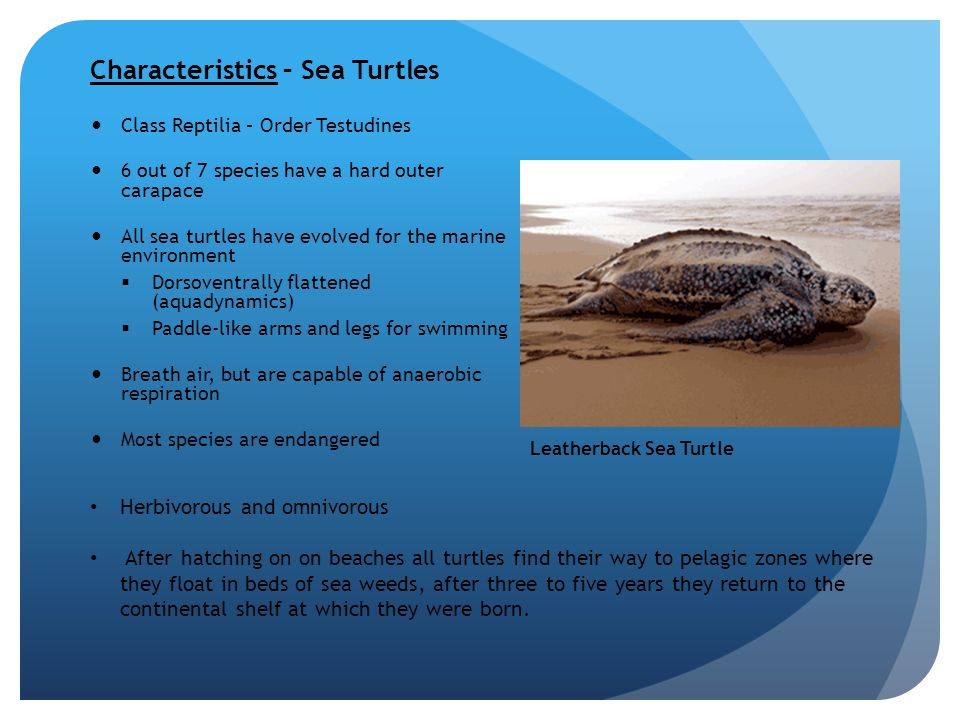 the characteristics and the habitat of sea turtles 2006 canadian waters provide critical foraging habitat for leatherback turtles biological conservation 133: 347-357 [pdf] james, mc, sherrill-mix, sa, and ra myers 2007 population characteristics and seasonal migrations of leatherback sea turtles at high latitudes marine ecology progress series 337: 245-254.