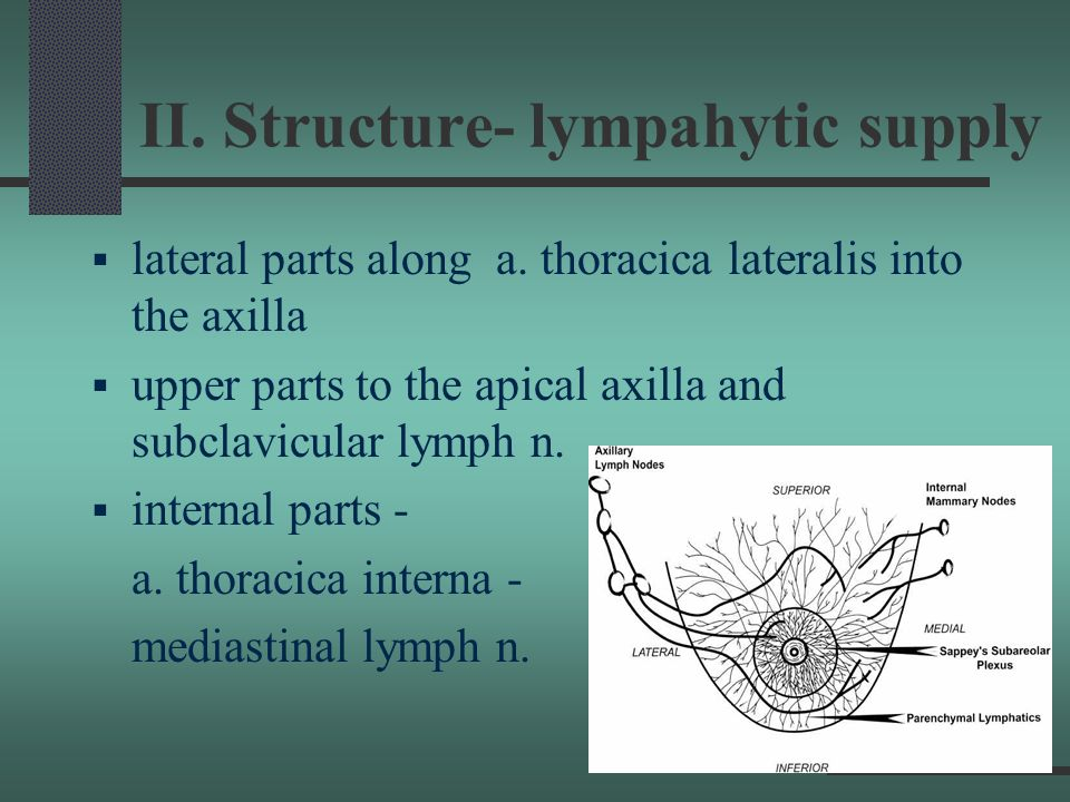 II. Structure- lympahytic supply
