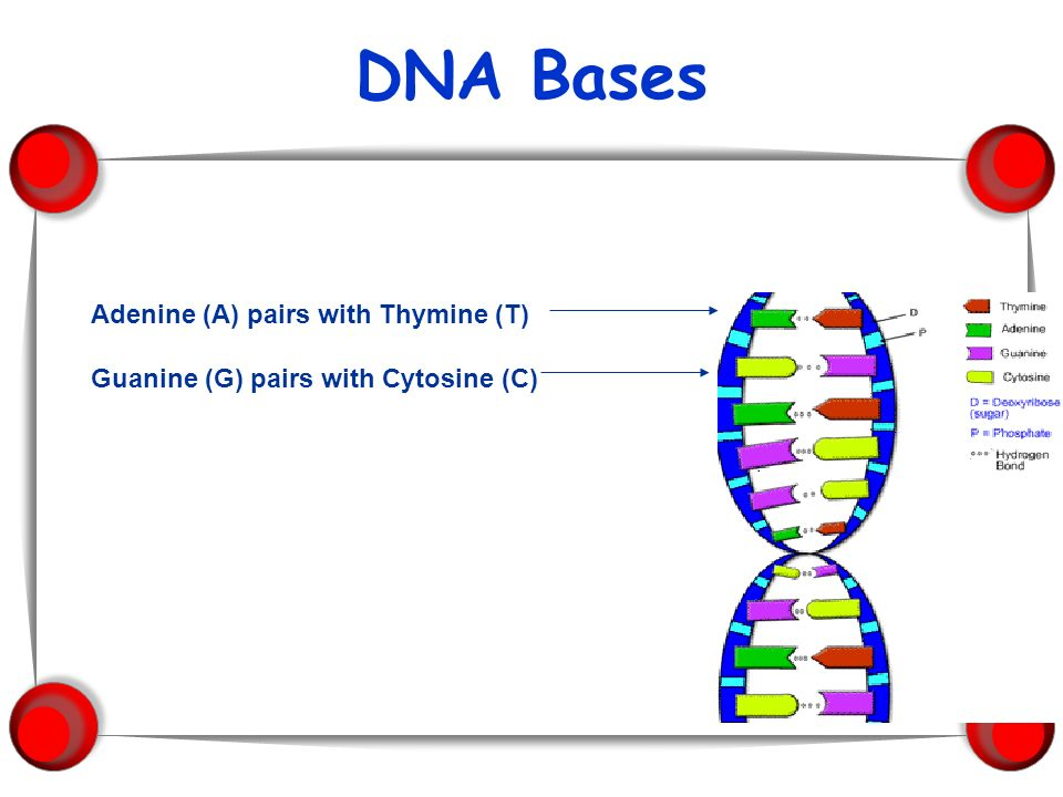 DNA Bases Adenine (A) pairs with Thymine (T)