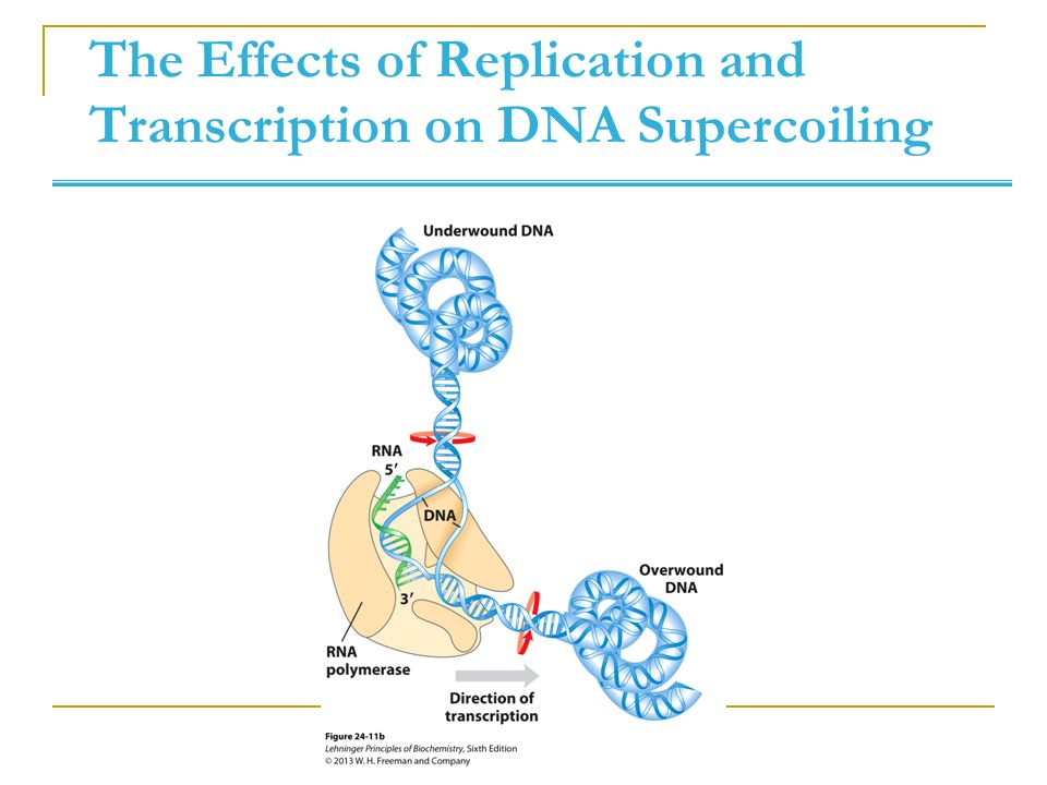 structure of dna and effect of On the structure and free energy landscape of dna kissing complexes  a  recently developed coarse-grained model for dna to study kissing.