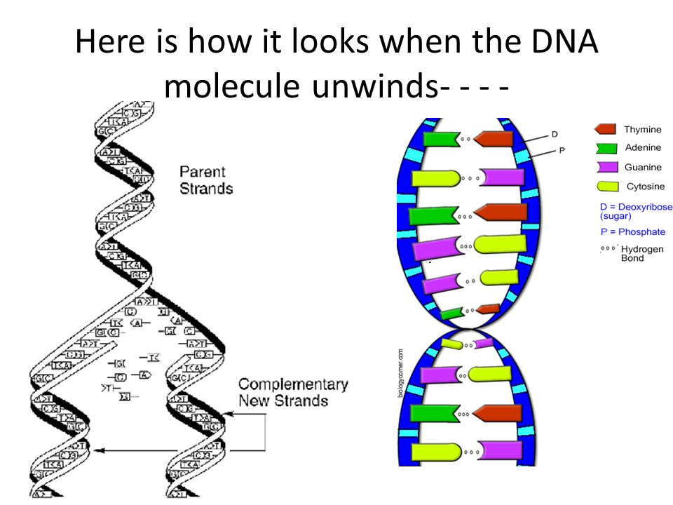 What Does DNA Structure Look Like and Why? - DBriers.com