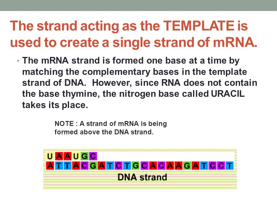 The strand acting as the TEMPLATE is used to create a single strand of mRNA.