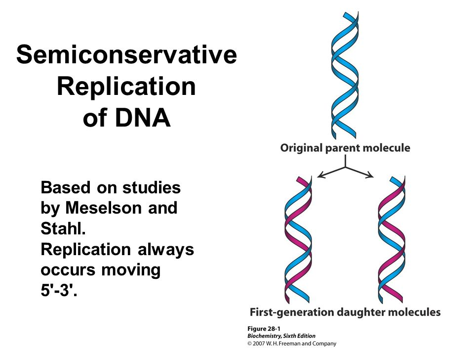 semi conservative replication of dna In the semi-conservative model, the two parental strands separate and each makes a copy of itself after one round of replication, the two daughter molecules each comprises one old and one new strand note that after two rounds, two of the dna molecules consist only of new material, while the other .