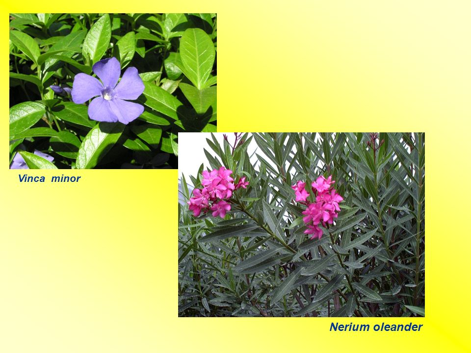 Vinca minor Nerium oleander