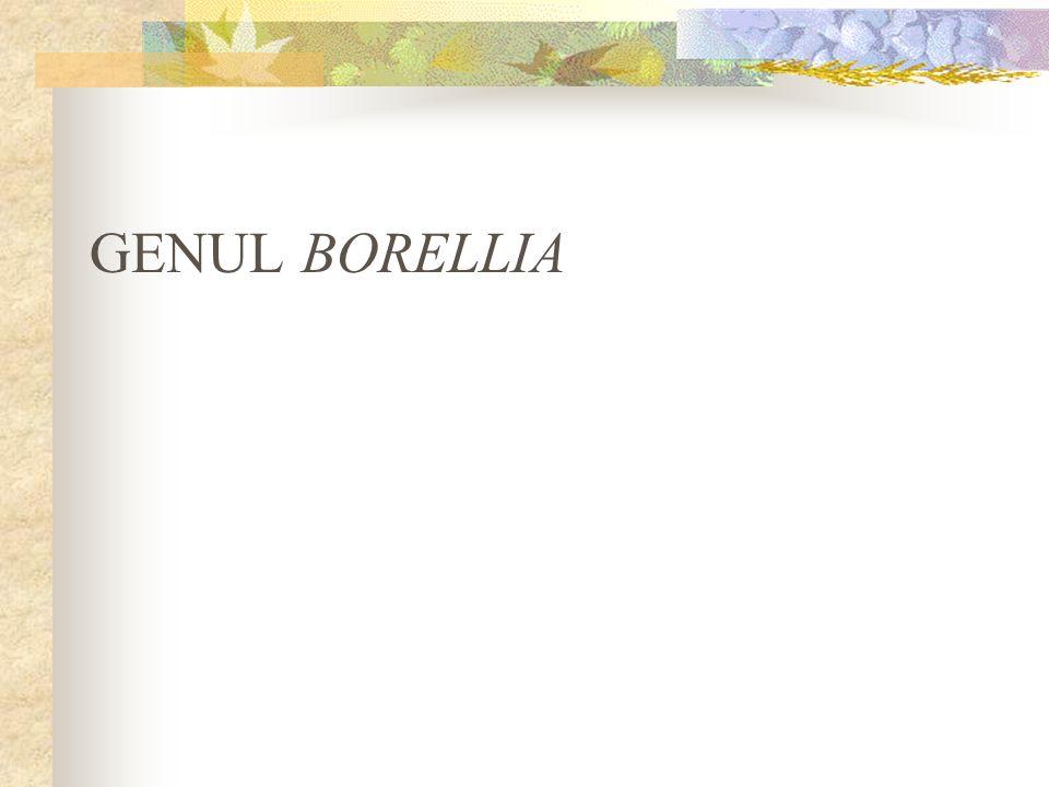 GENUL BORELLIA