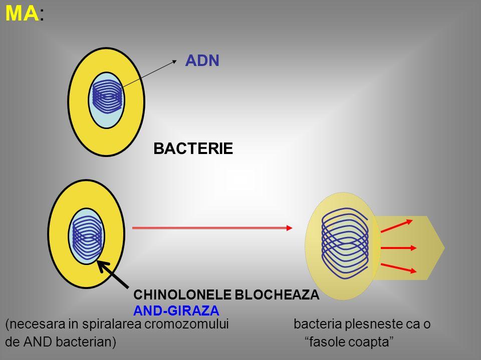 MA: (necesara in spiralarea cromozomului bacteria plesneste ca o. de AND bacterian) fasole coapta