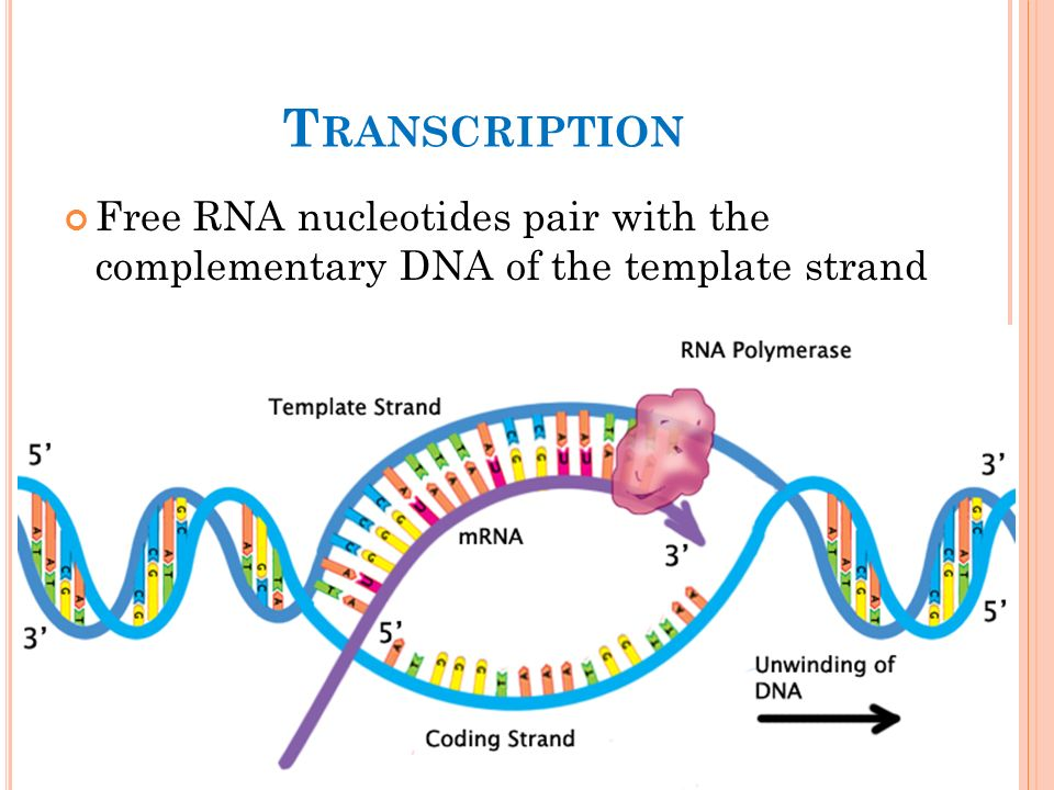 what is the template strand - chapter 5 introduction to studying protein ppt download