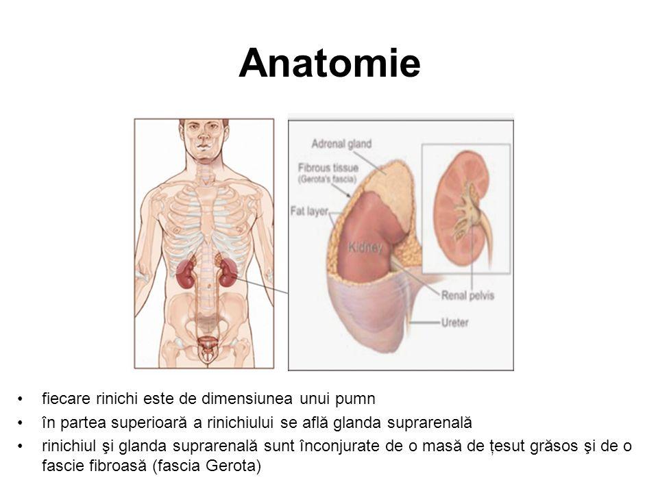Anatomie fiecare rinichi este de dimensiunea unui pumn