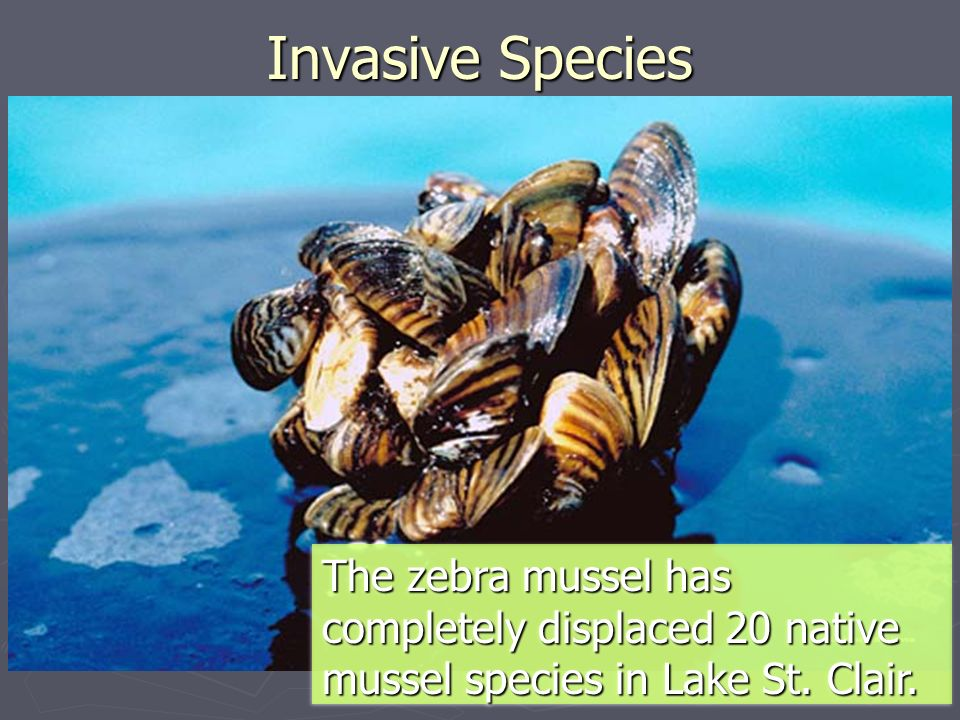 a description of the invasion of the zebra mussels These invasive, fingernail-sized zebra mussel control zebra_mussel only a day or two are less likely to transport adult zebra mussels microscopic zebra.