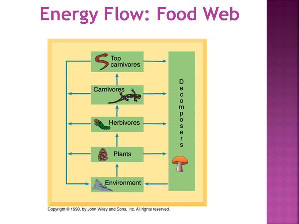 Energy Flow: Food Web