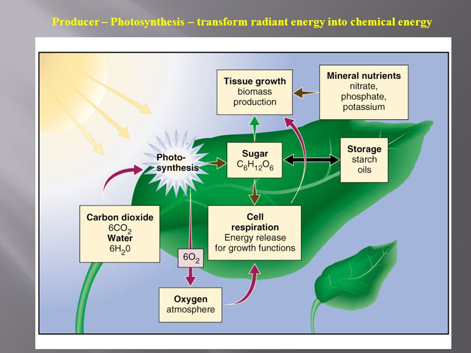 Producer – Photosynthesis – transform radiant energy into chemical energy