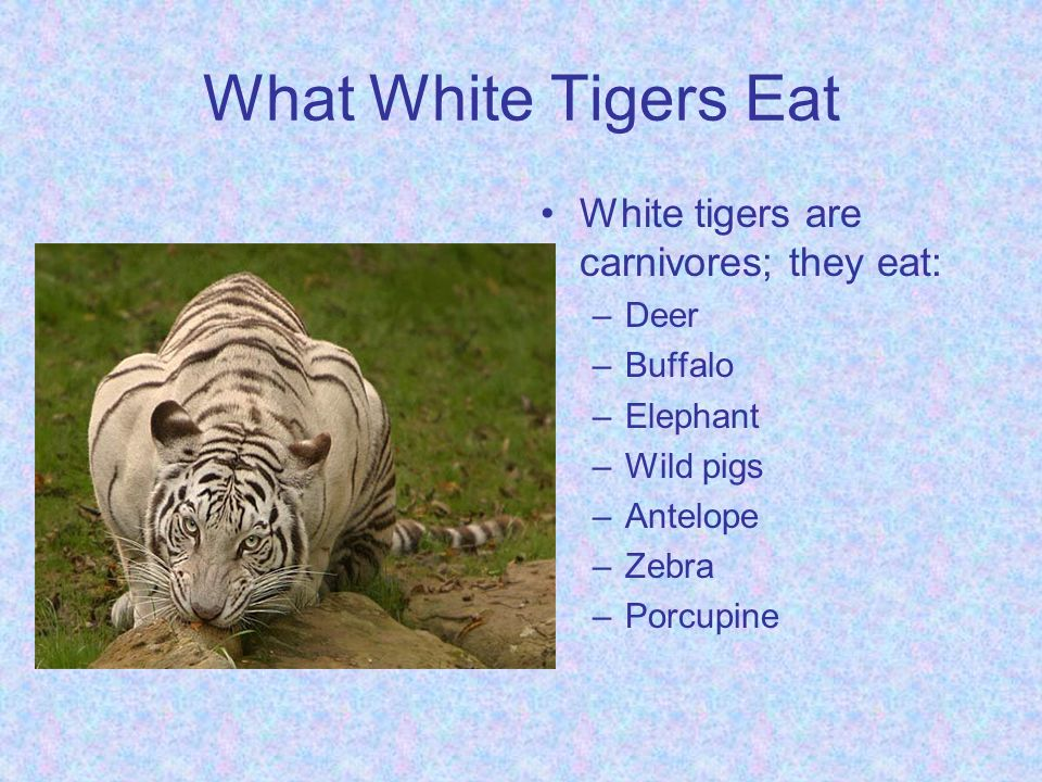 What Food Does The White Tiger Eat