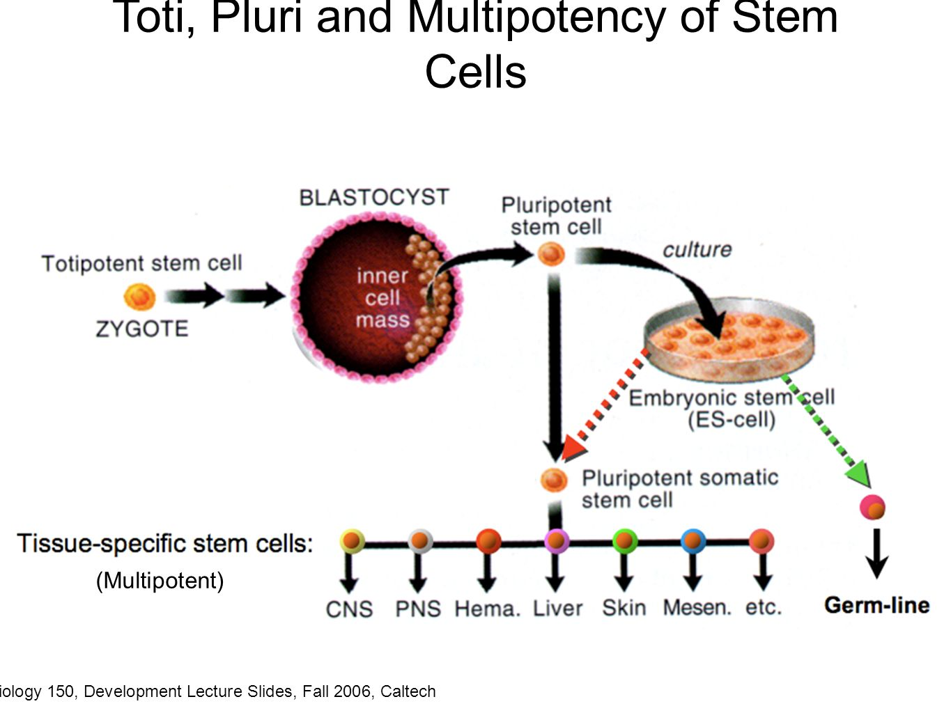 development of stem cell technology biology essay Many view the issue of stem cell research and stem cell therapy as morally wrong  and a  the possibility of stem cells to develop prospering health makes them  beneficial to the human race  [tags: ethics biology stem cells essays papers.