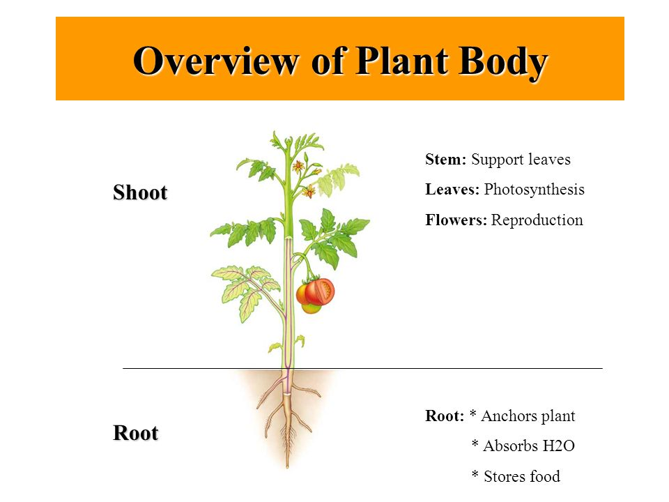 An Overview of the Plant Growth Process: How Does a Plant Grow?