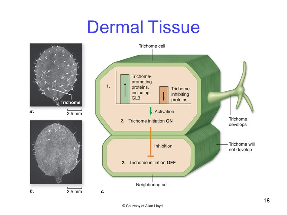 dermal tissues