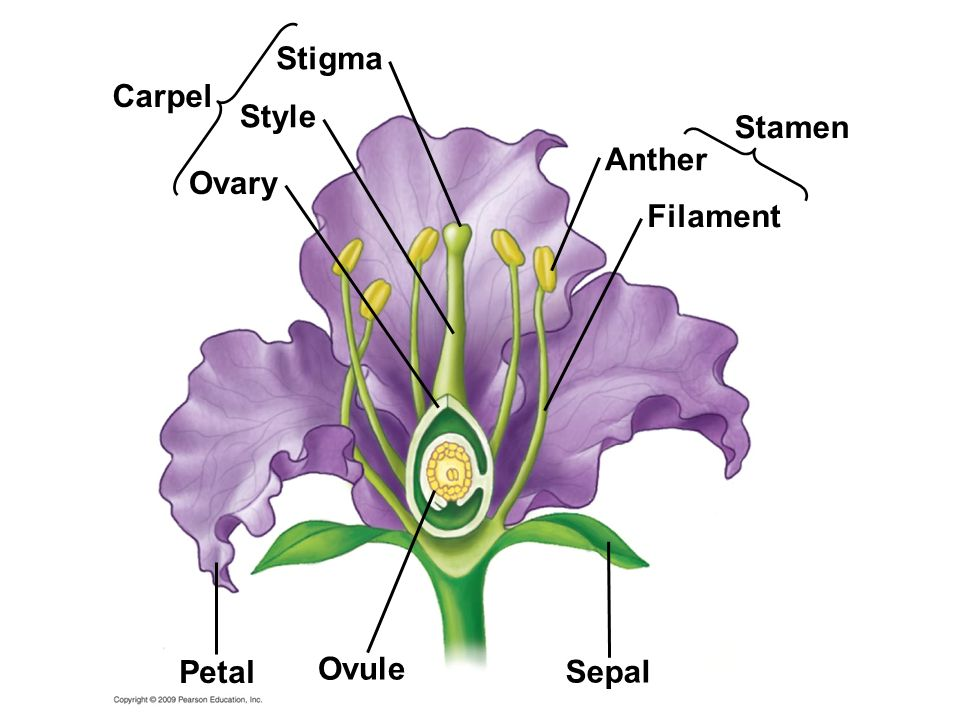 mature ovary of a flowering plant jpg 422x640