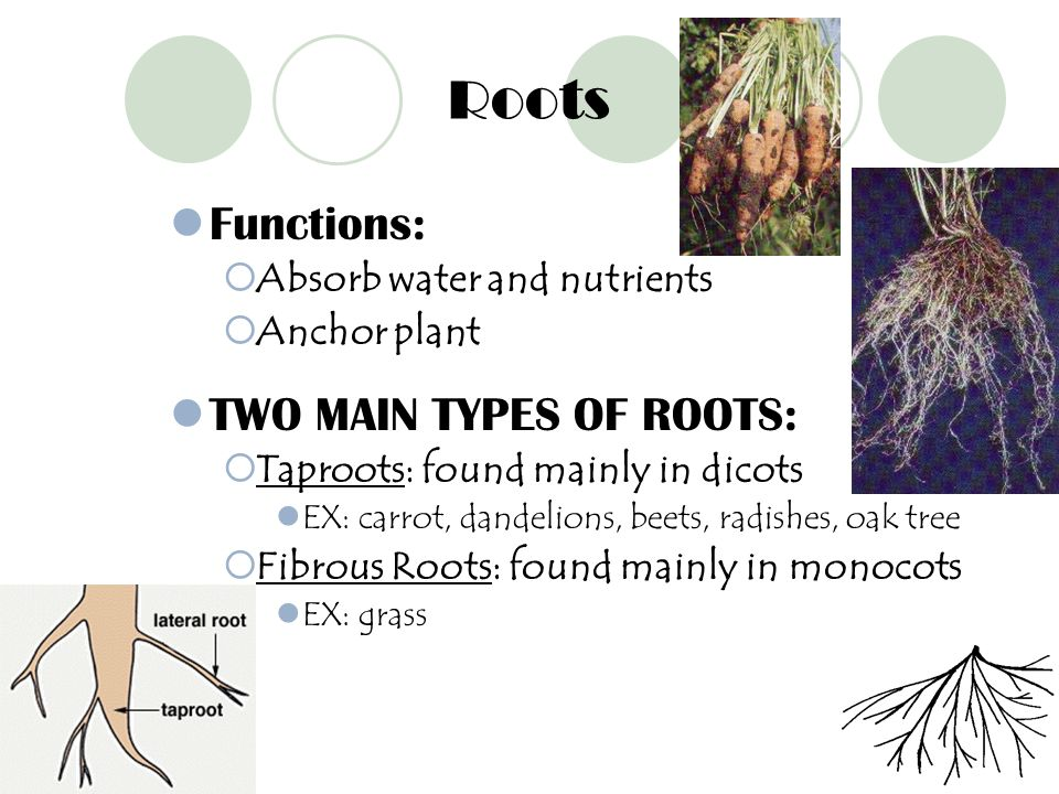 Roots Functions: TWO MAIN TYPES OF ROOTS: Absorb water and nutrients