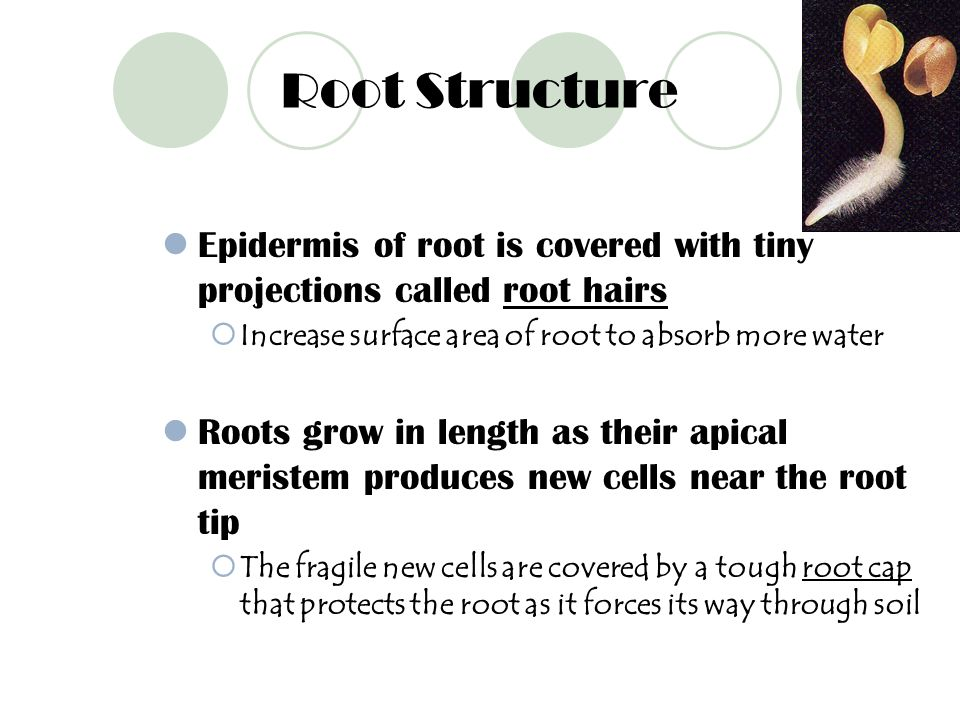 Root Structure Epidermis of root is covered with tiny projections called root hairs. Increase surface area of root to absorb more water.