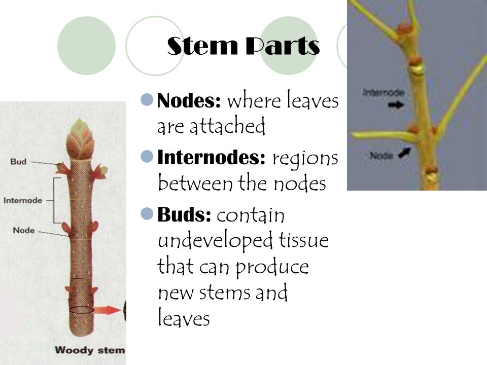 Stem Parts Nodes: where leaves are attached