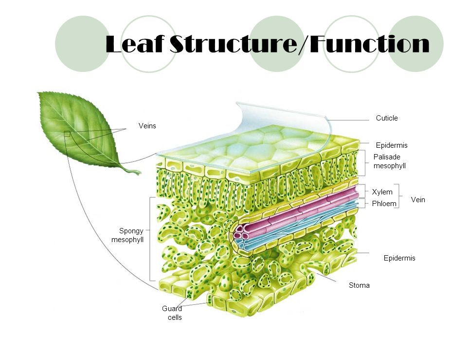 Leaf Structure/Function
