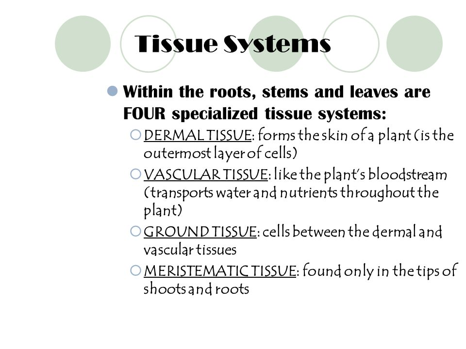 Tissue Systems Within the roots, stems and leaves are FOUR specialized tissue systems: