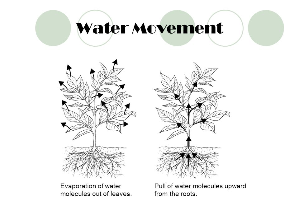 Water Movement Evaporation of water molecules out of leaves.