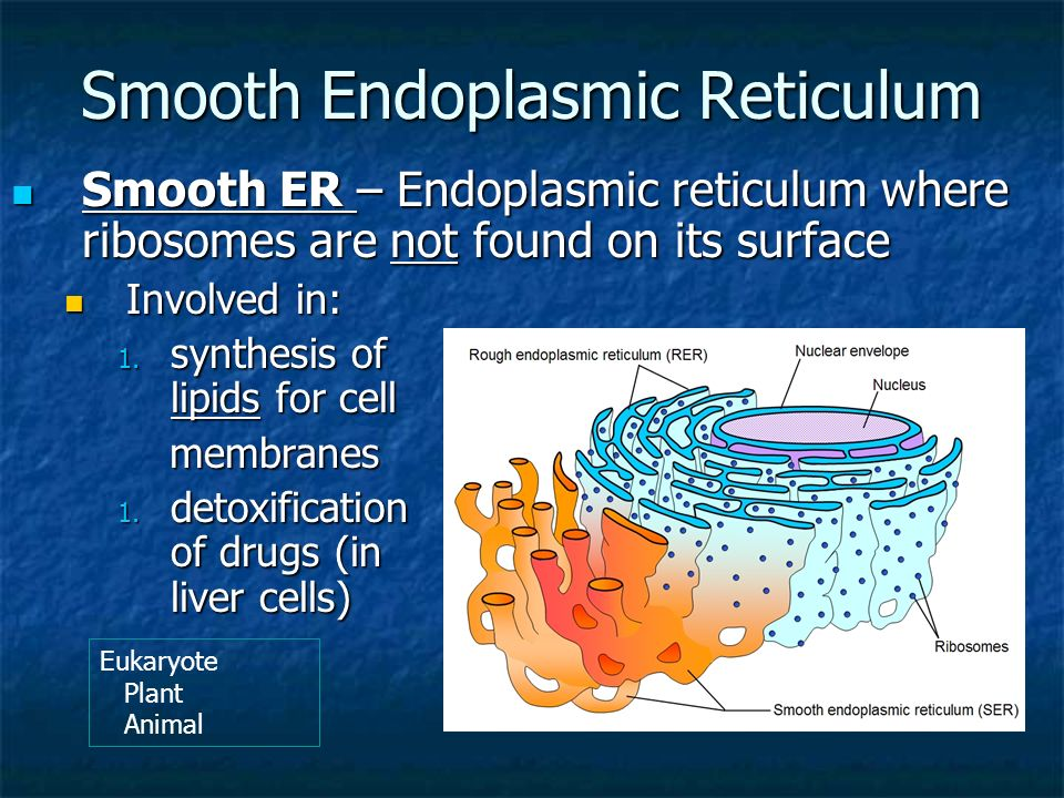 smooth endoplasmic reticulum synthesises The smooth endoplasmic reticulum is involve in the synthesis and transport of  lipids, detoxification of a variety of poisons, stores calcium, and metabolizes.