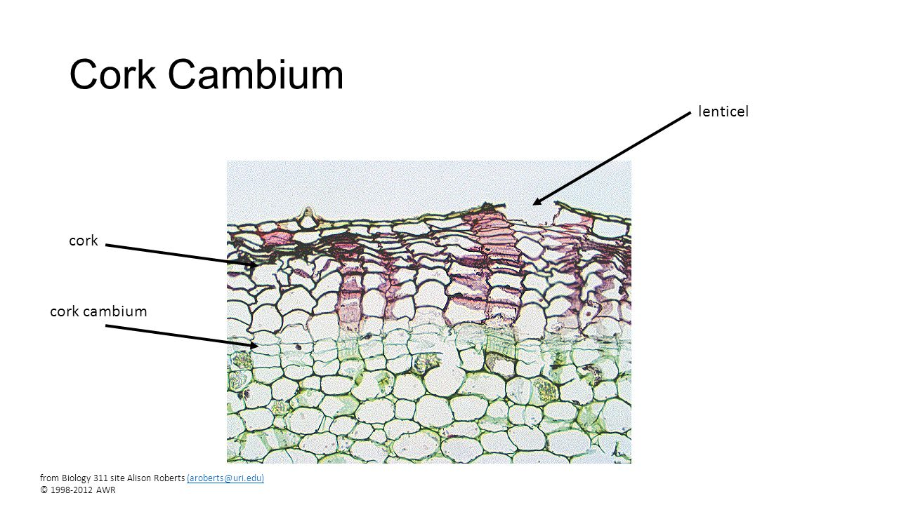 from Biology 311 site Alison Roberts (aroberts@uri.edu) © 1998-2012 ... Xylem And Phloem In Plants