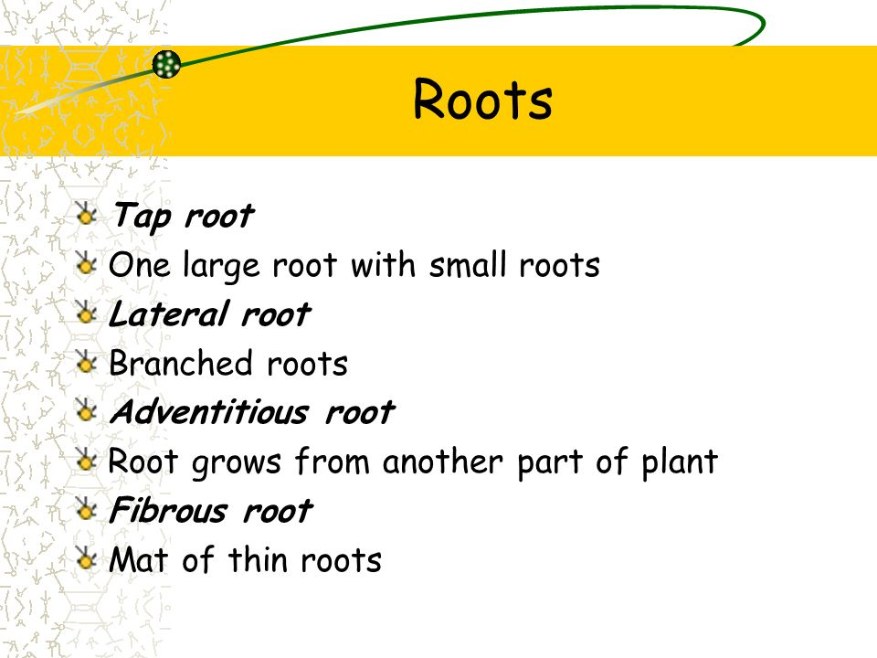 Roots Tap root One large root with small roots Lateral root