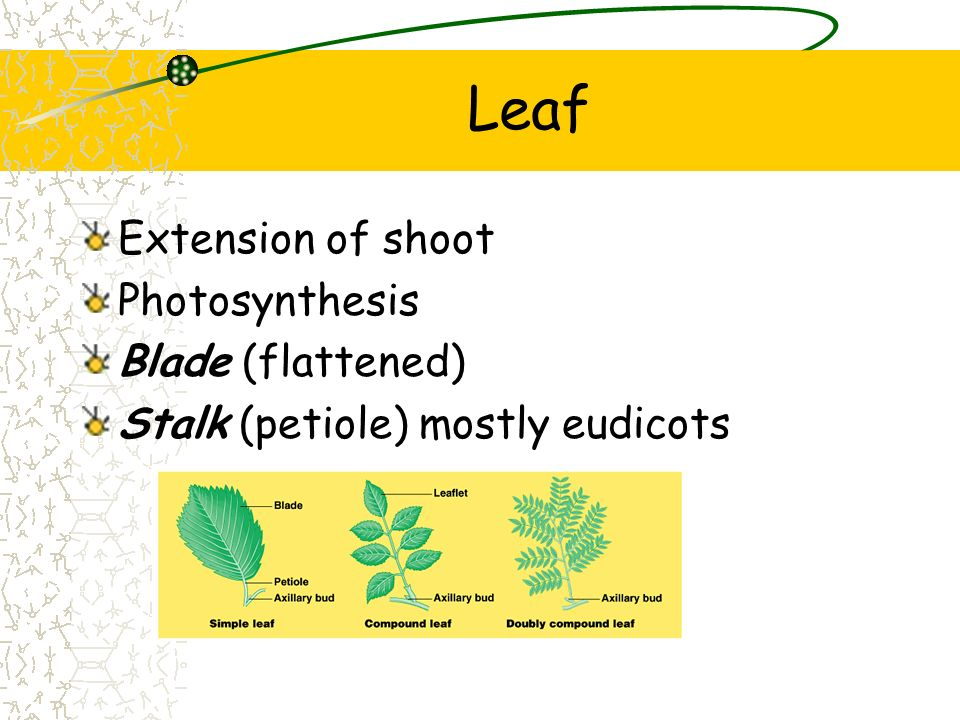 Leaf Extension of shoot Photosynthesis Blade (flattened)