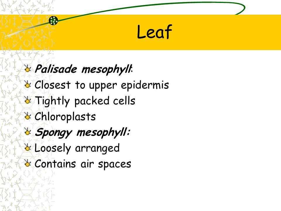 Leaf Palisade mesophyll: Closest to upper epidermis
