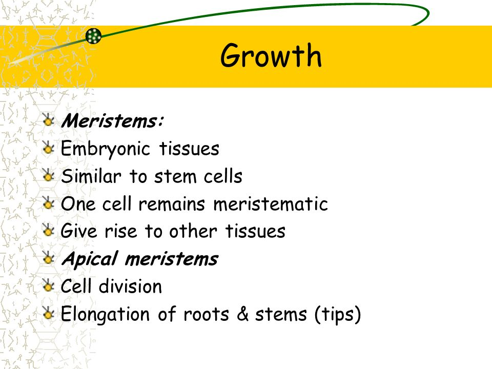 Growth Meristems: Embryonic tissues Similar to stem cells